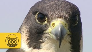 Peregrine Falcon | Planet Doc Express