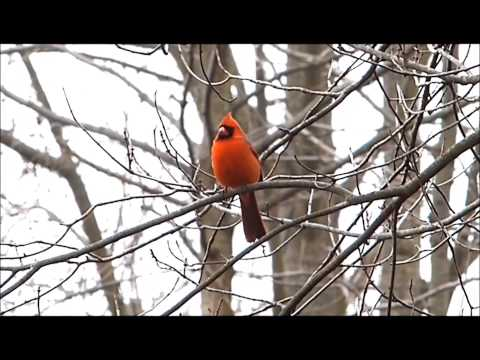 1 of America's prettiest birds - The North American Cardinal