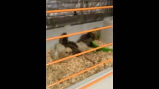 Silkie chickens reacting to techno chicken