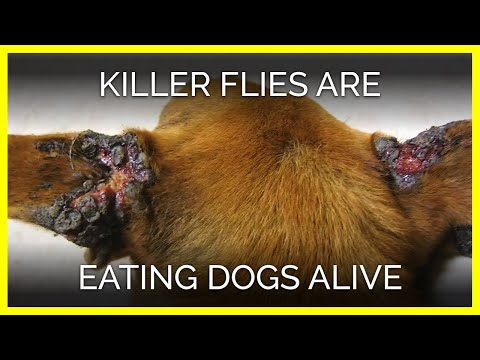 Summer's Killer Flies Are Eating Dogs Alive