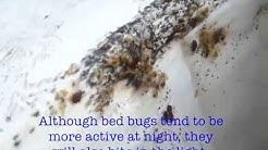 Bed Bug pest control in Orange County NY by American Pest Control