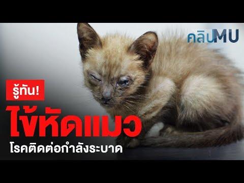รู้ทัน...ไข้หัดแมว โรคติดต่อกำลังระบาด   คลิป MU [Mahidol]