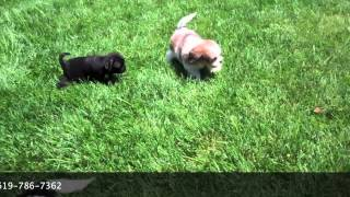 Cavachon (cavalier King Charles X Bichon Frise) Female And A Pug Male Playing