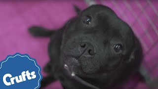Staffordshire Bull Terrier | Crufts Breed Information