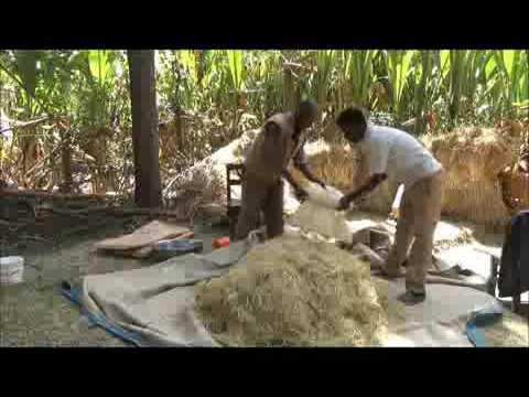 Damboya Hay tretment with UREA for animal feed