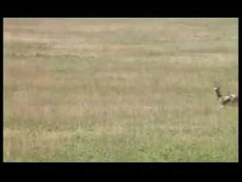 110km h Cheetah attack gazelle.3gp