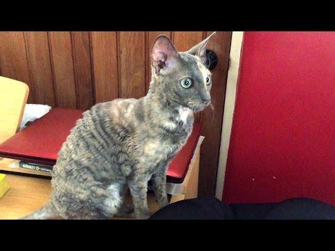 Meet Pepsi Rex the Cornish Rex Cat Kitten