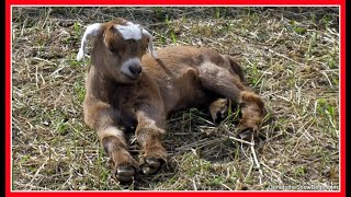 Baby Goat | And The Apple Farm