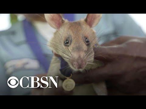 Rat that detected dozens of landmines gets award for animal bravery
