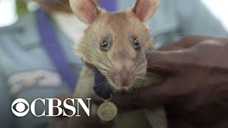 Rat that detected dozens of landmines gets award for animal bravery
