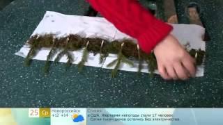 Укоренение хвойных черенками (ель,сосна)(, 2014-06-05T08:35:16.000Z)