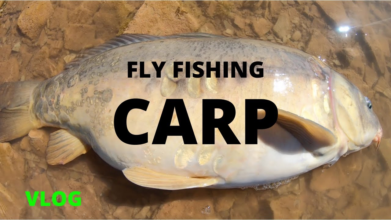 INSANE CARP FLY FISHING (also epic and sick)