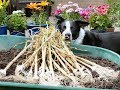 HGV How to grow Garlic in a pot  Start to Finish
