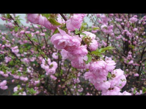 Весна. Цветущие многолетние кустарники.