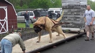English Mastiff Ultimate Massive Powerful Breed