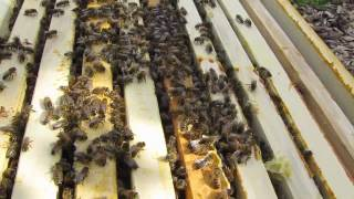 mudsongs.org: Non-invasive Hive Inspection