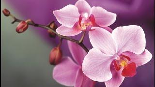Черенкование  пяти орхидей.(Эксперимент)).(В этом видео я подробно показываю о том как я черенковала свои орхидеи,Наконец то я решилась на этот поступ..., 2016-02-07T21:40:48.000Z)