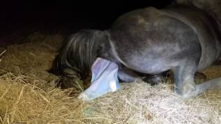 **GRAPHIC VIDEO** My pregnant mare foaling - *Entire birth captured on video*