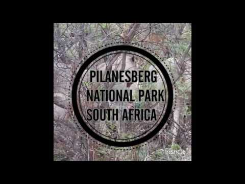 Travel Dejavu - Live feed of Transvaal pride in the Pilanesberg National Park
