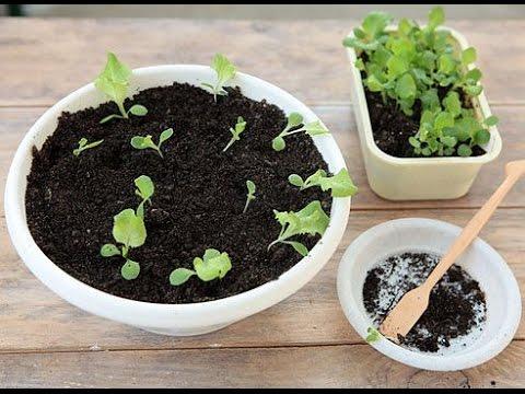 ФУКСИЯ размножение семенами. Размножение фуксии черенками