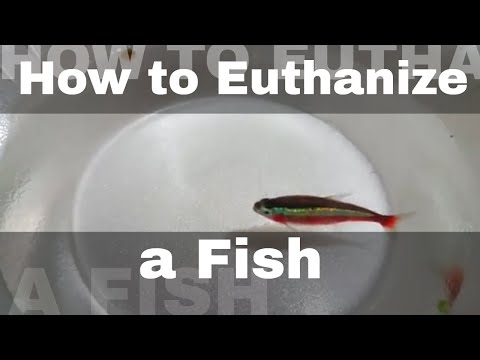 How To Euthanize A Fish Humanely. NOT For The Faint Of Heart