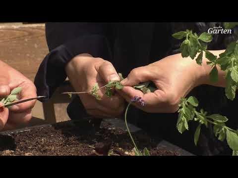 Stauden, Kräuter und Gehölze über Stecklinge vermehren | MDR Garten