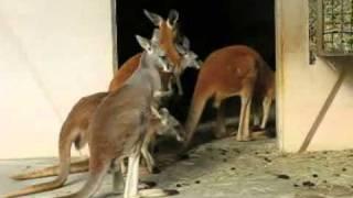 東山動物園で、飛び跳ねるカンガルーたちを撮影(PowerShotS3ISで撮影)