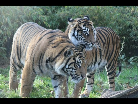 Sumatran tigers / Sumatraanse tijgers : ZSL London ZOO UK