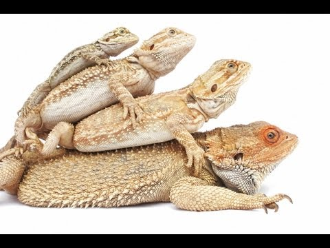 How To Tame Your Bearded Dragon - YouTube Full Grown Bearded Dragon Next To A Ruler