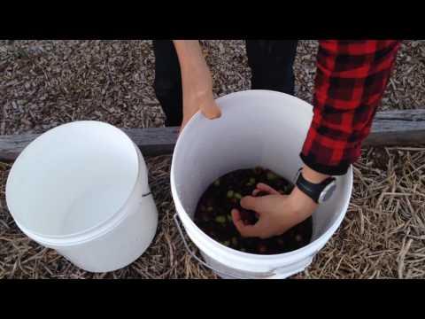 Easy Method To Brine Olives