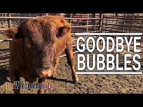 Taking a Bull to Auction - Bubbles Leaves the Cattle Ranch