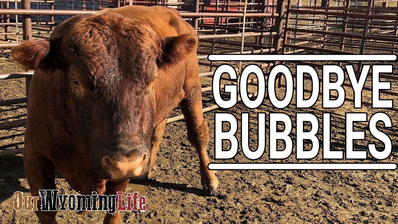 taking-a-bull-to-auction-bubbles-leaves-the-cattle-ranch