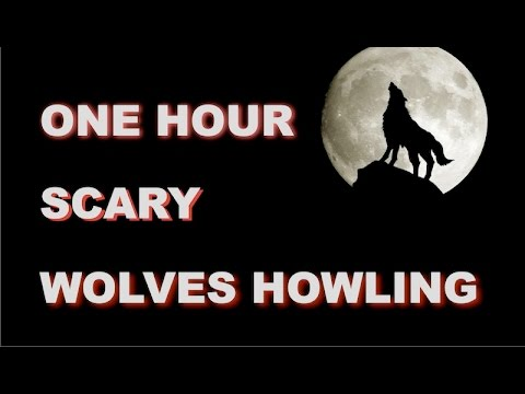 Wolves Howling Sounds  One Hour  HQ
