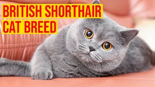 British Shorthair Cat Breed Everything You Need To Know/ All Cats