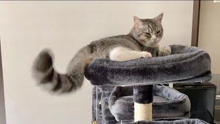 めんどくさくて尻尾で返事する猫!