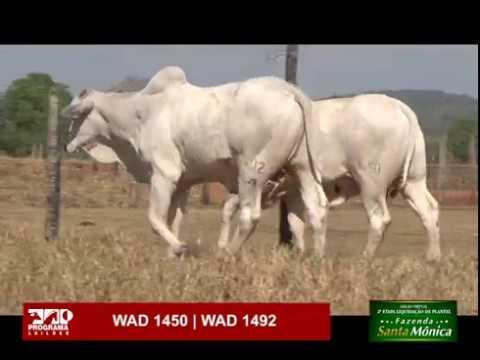 LOTE 53 - WAD 1450 | WAD 1492