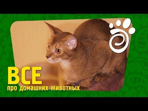 Абиссинская Порода Кошек. Все О Домашних Животных