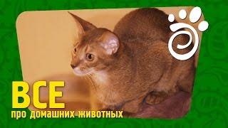 видео абиссинская порода кошек