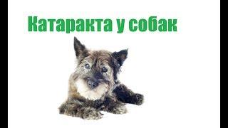 Катаракта У Собак & Признаки И Лечение Катаракты У Собаки. Ветклиника Био-Вет