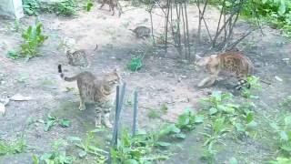 Бенгальские котята для души или в разведение