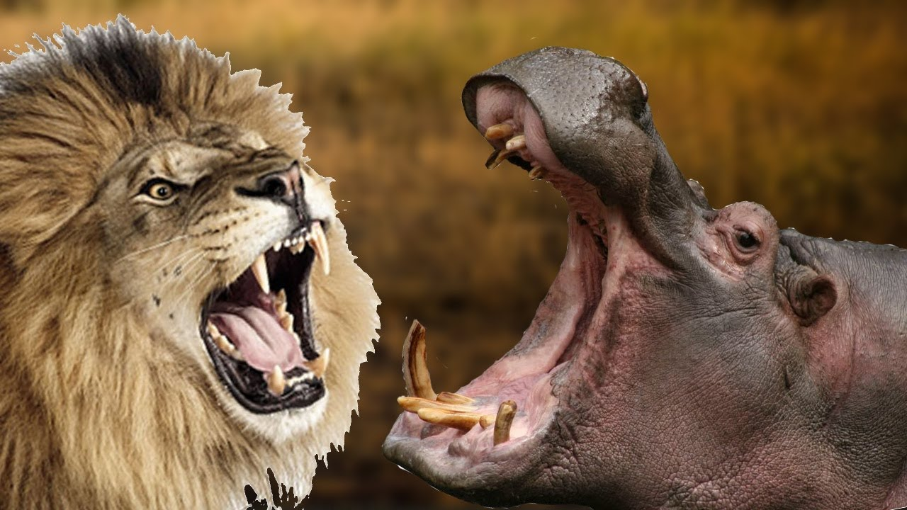 Бигемот против льва. Кто сильнее бегемот или лев?