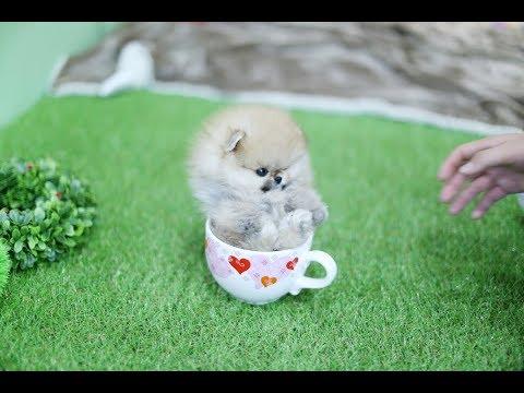 Amazing orange pom teacup pomeranian puppy