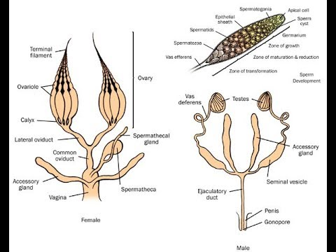 Lecture 9: Insect Reproductive System