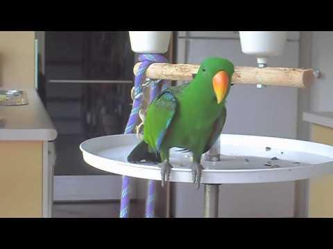 Aku – Happy Birthday (Eclectus Parrot)