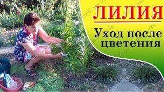 видео Обрезка малины осенью: главные рекомендации опытных садоводов