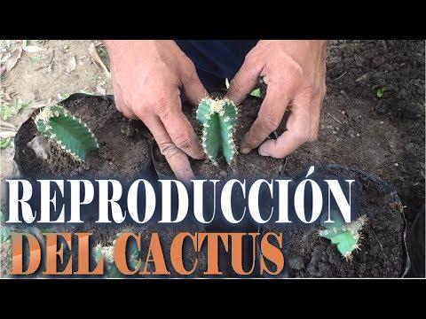 Reproducción y cuidado del cactus || Info Garden