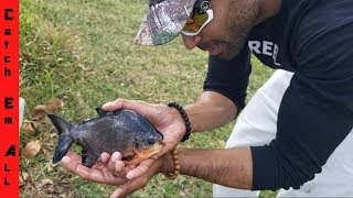 Catching BABY PACU and BABY TURTLES with BARE HANDS!
