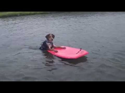 Surfing Dog -  Dog boogie boarding. Watch this dog use a boogie board like a pro!