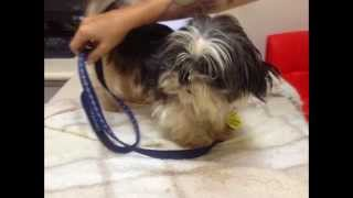 Shih Tzu - Renshaw 7 Years Old Puppy Mill Survivor