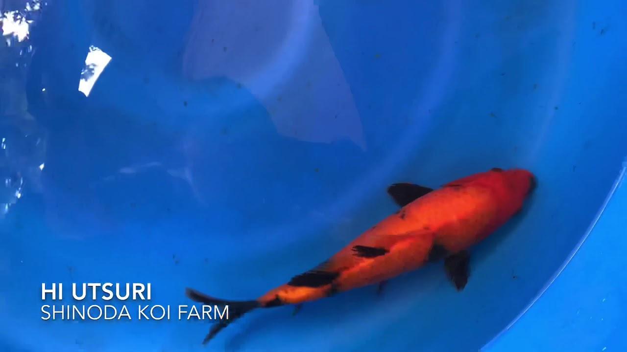 Koi Hi utsuri SHINODA KOI FARM 01 - YouTube